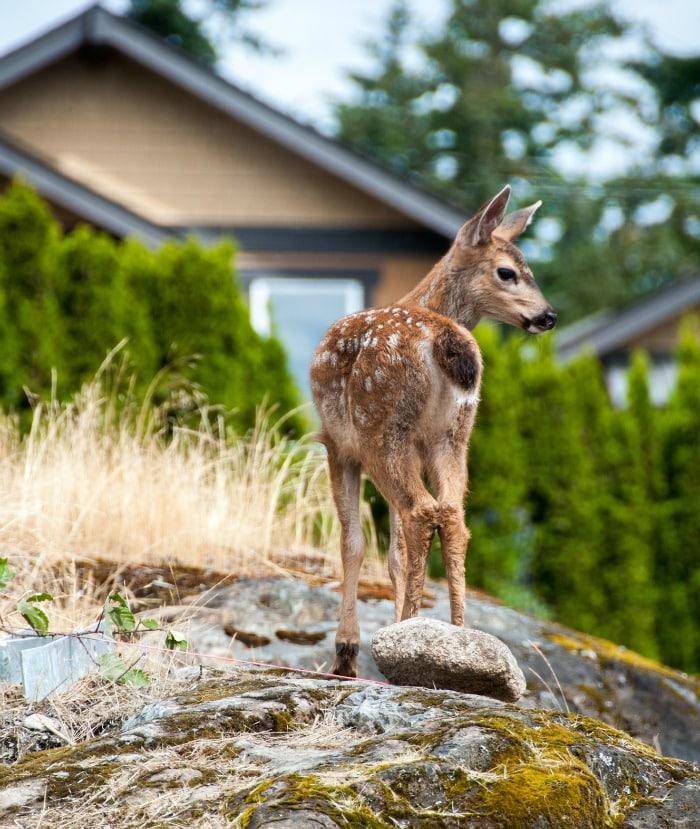 deer-in-garden-utah